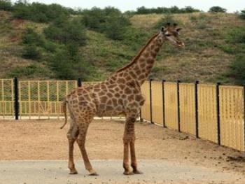 新建的长颈馆,大象馆,鳄鱼馆所饲养的热带动物均可安全过冬.