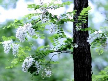 颐寿园古桑葚树是夏津黄河故道森林公园的
