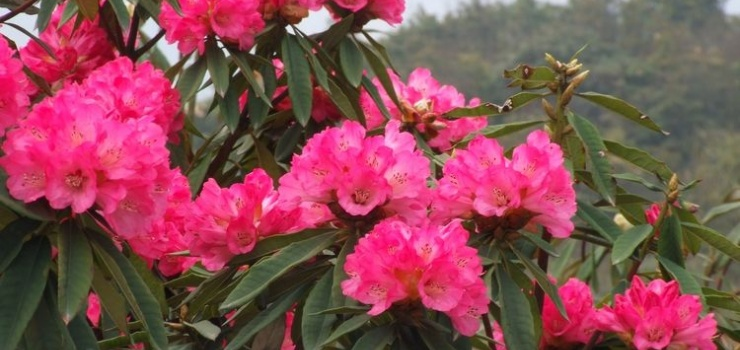 所在地区:贵州毕节  贵州省毕节百里杜鹃风景区普底